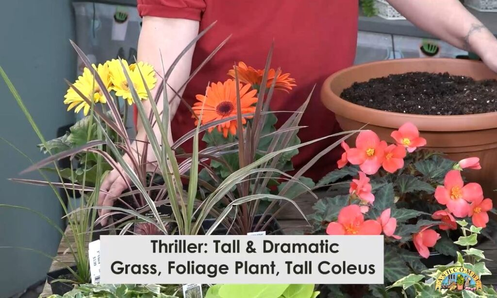 Thriller: tall & dramatic, grass, foliage plant, or tall coleus