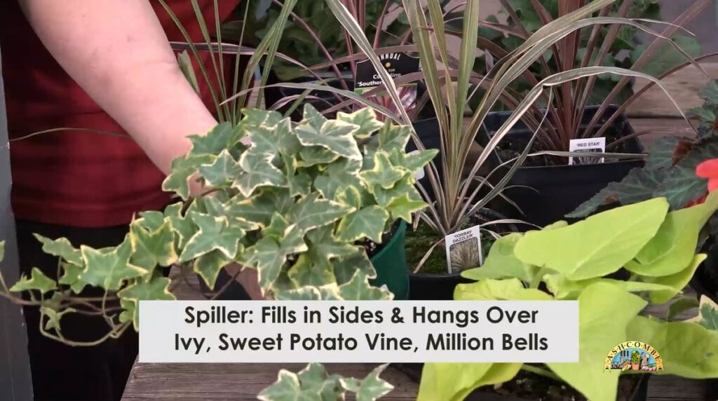 spiller is a plant that hangs over the pot
